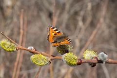 Butterfly.  Urticaria. Beautiful butterfly on a willow flower. Urticaria. Early spring royalty free stock photography