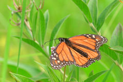 Beautiful Butterfly-Wings. Monarch-Butterfly feeding on nectar Stock Photo