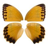 Beautiful butterfly wings in orange, brown and black close up isolated. On white background Stock Photo