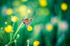 Beautiful Butterfly on a yellow field. Gorgeous butterfly sitting on green grass field with flowers Royalty Free Stock Image