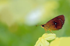 Beautiful butterfly on Yellow flower.  Stock Photography