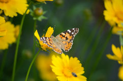 Beautiful butterfly on the yellow flower. Beautiful butterfly on the bright yellow flower Royalty Free Stock Images