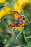 Beautiful butterfly on yellow flower Stock Images