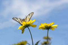 Beautiful butterfly on yellow flowers against the blue sky. Beautiful butterfly, known as papilionidae, on yellow flowers against the blue sky Stock Photos