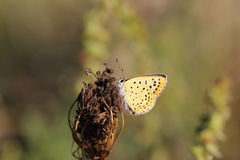 A beautiful butterfly with yellow wings on which the black dots Royalty Free Stock Photos