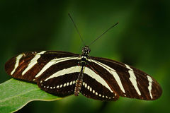 Beautiful butterfly Zebra Longwing, Heliconius charitonius. Butterfly in nature habitat. Nice insect from Costa Rica. Butterfly in stock photos