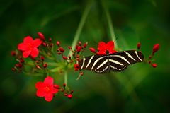 Beautiful butterfly Zebra Longwing, Heliconius charitonius. Nice insect from Costa Rica in the green forest. Butterfly with red fl. Ower bloom in the tropic royalty free stock image