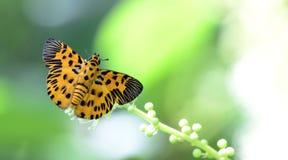 Beautiful Butterfly, Zigzag Flat, Odina decorata. Butterfly, Butterflies feed on the flower, Zigzag Flat, Odina decorata Royalty Free Stock Image
