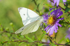 Beautiful Cabbage Butterfly on a garden flower Royalty Free Stock Image