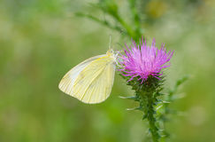 Beautiful Cabbage butterfly Royalty Free Stock Photo