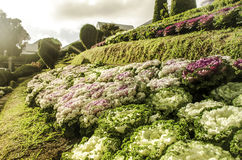 Beautiful cabbage field in Chiangmai, Thailand Royalty Free Stock Photo