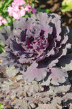 Beautiful of cabbage ornamental Royalty Free Stock Image