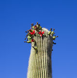 Beautiful cacti in landscape Stock Photography