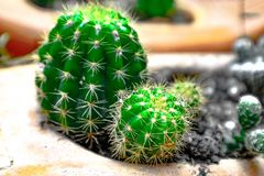 Beautiful cactus with afternoon sun stock photo