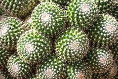 Beautiful cactus background in botanical garden stock photography