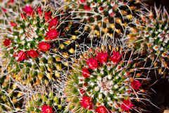 Beautiful cactus flower blossom Royalty Free Stock Image