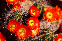 Beautiful cactus flower blossom Stock Image