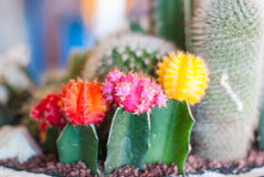 Beautiful cactus flower Royalty Free Stock Image
