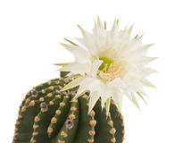 Beautiful cactus flower isolated Royalty Free Stock Photography
