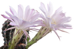 Beautiful cactus flowers Stock Photo