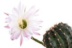 Beautiful cactus flowers Stock Photos