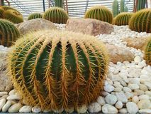 Beautiful cactus in the garden stock images