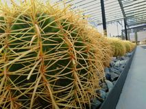 Beautiful cactus in the garden stock photos