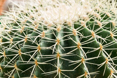 Beautiful cactus Royalty Free Stock Images