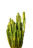 Beautiful cactus Stock Image