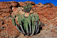 Beautiful cactus near the stones Royalty Free Stock Photo