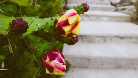 A beautiful cactus. Next to some stairs royalty free stock image