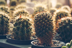 Beautiful cactus plant at sunries Royalty Free Stock Photo