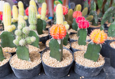 Beautiful cactus in the pot for your garden or working room. Royalty Free Stock Images