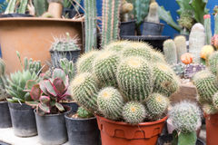 Beautiful cactus in the pot for your garden or working room. Stock Images