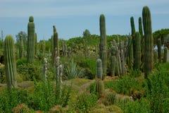 Beautiful cactuses on the cactus plantation Royalty Free Stock Photos