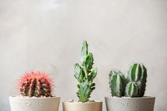 Beautiful cactuses in pots. On light background Royalty Free Stock Images