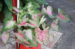 Beautiful Caladium leaves Royalty Free Stock Images