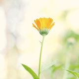 Beautiful calendula Stock Images