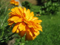 Beautiful calendula flower Stock Photography