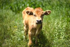 Beautiful calf Stock Photos