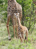 A beautiful calf and mother Giraffe Stock Images