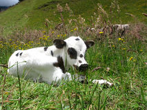 Beautiful calf new Royalty Free Stock Photos