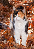 Beautiful calico cat in autumn leaves stock photography