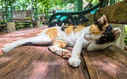 Beautiful Calico Cat cleaning itself in strange position. Stock Photo