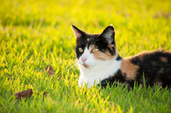 Beautiful calico cat in grass Royalty Free Stock Image