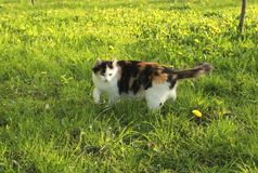 Beautiful fluffy calico cat in green grass stock image