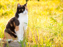 Beautiful calico cat in high grass Royalty Free Stock Photos