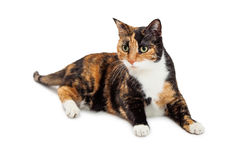 Beautiful Calico Cat laying Over White Background. Pretty orange and black color Calico breed cat laying on white royalty free stock images