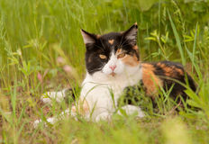 Beautiful calico cat resting in spring grass Royalty Free Stock Photography