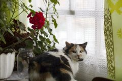 Beautiful calico cat sits on window near pot with red geraniums Royalty Free Stock Photography